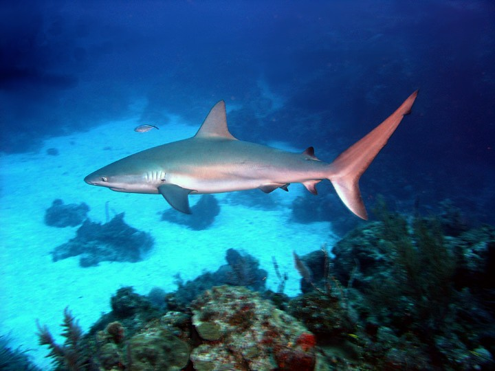 Picture A Remora Fish And Shark