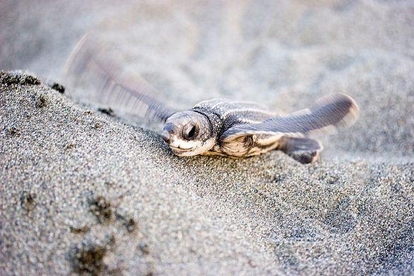 A leatherback sea turtle hatchling.