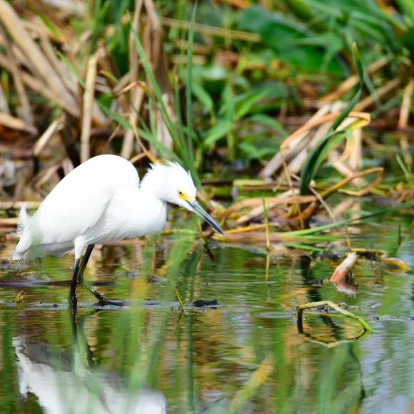 Photo of a snowy egret taking in Florida.