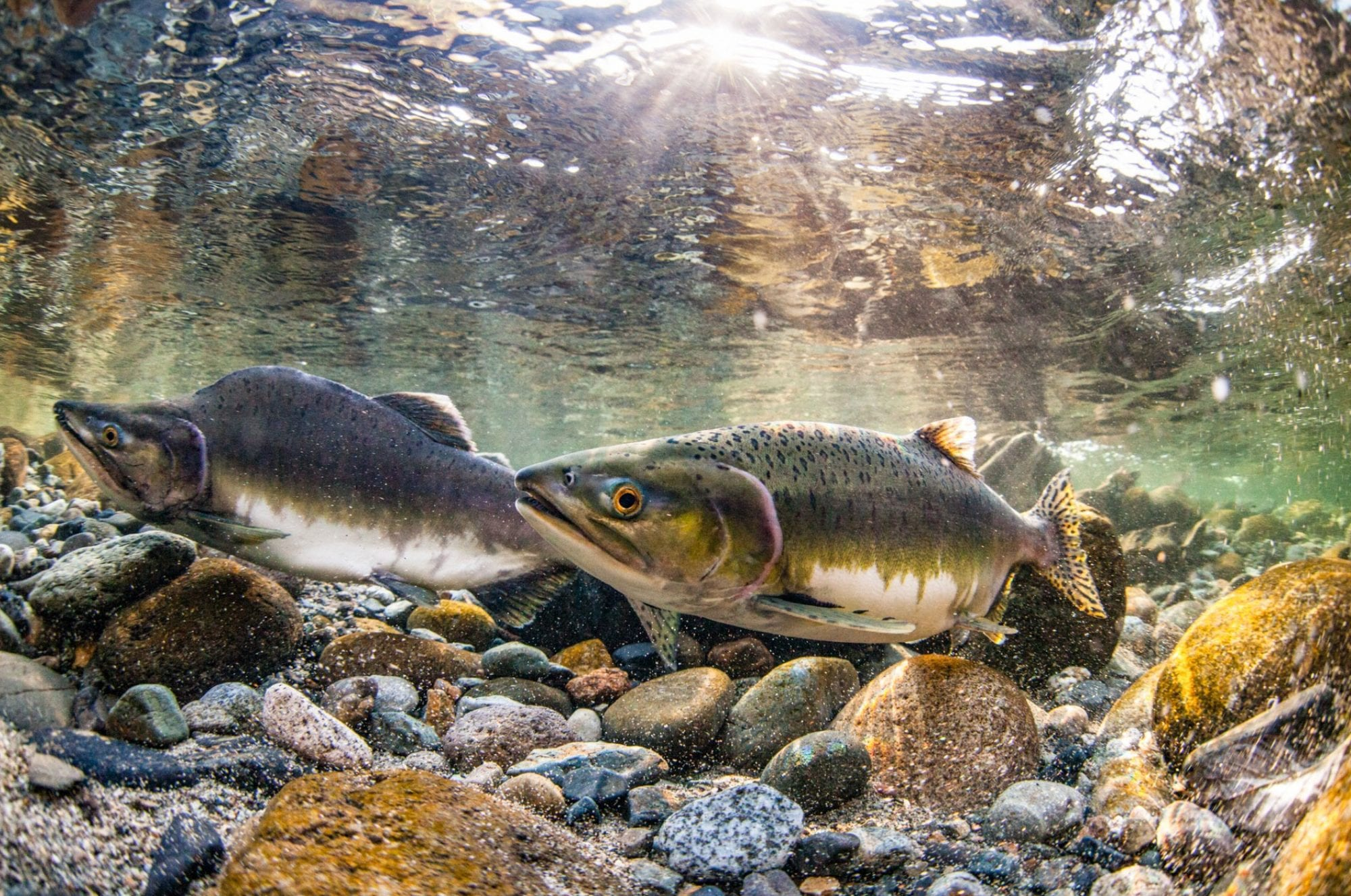THE PLIGHT OF THE WILD SALMON