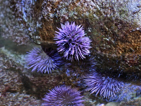 random purple urchin_mildly attractive