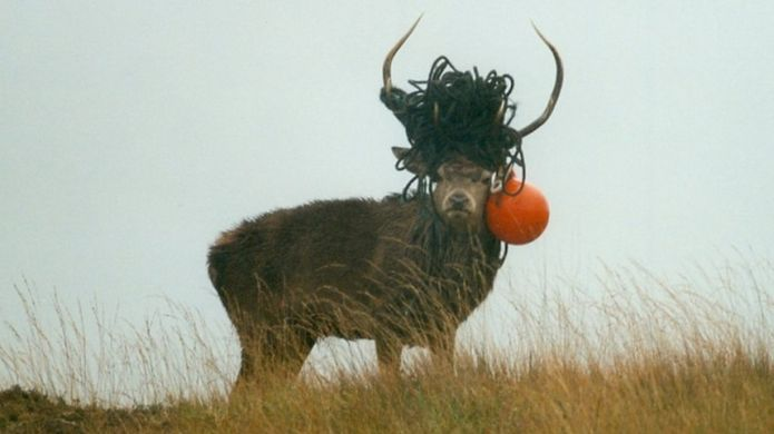 entangled stag on the Isle of Rum