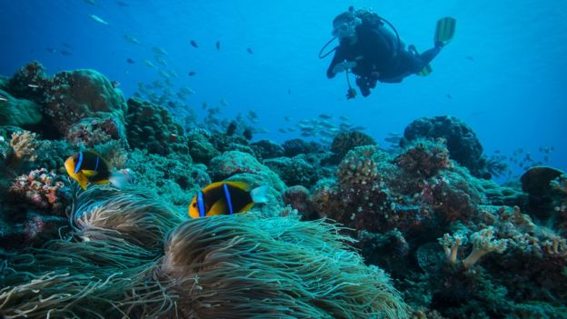 diver among corals