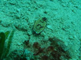 Nudibranch:Chromodoris annulata