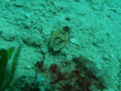 Nudibranch:Chromodoris annulata