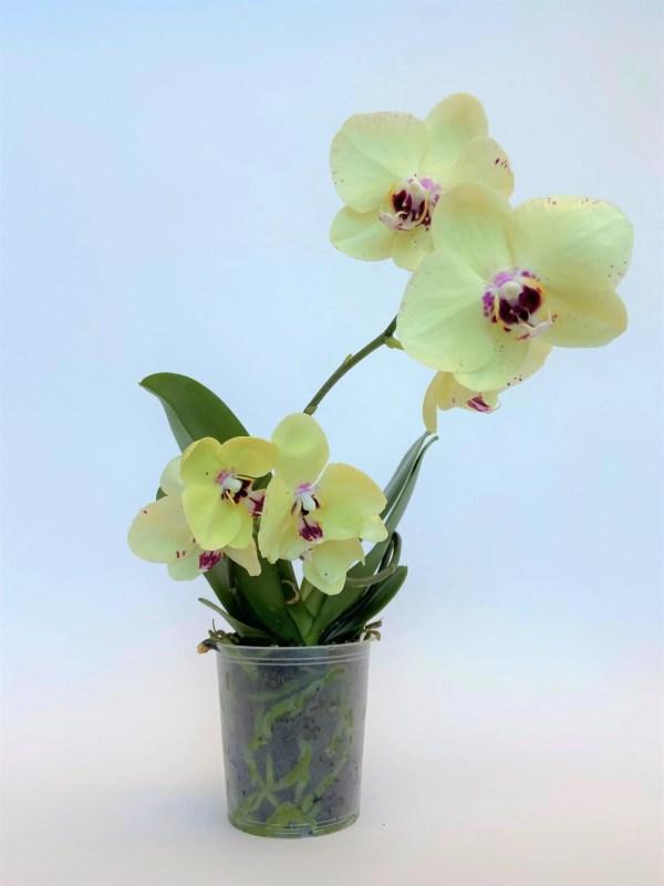 nežno dišeča orhideja
