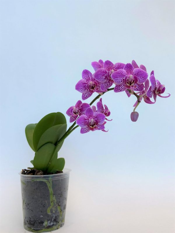 vijolična , ordhideja falenopsis, vyolea, mini ,