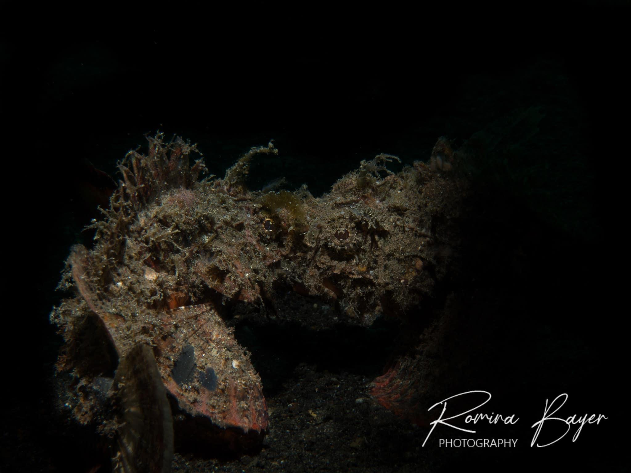 Two scorpionfish fighting