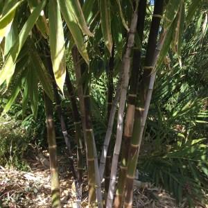 Bambusa lako- Timor Black Bamboo