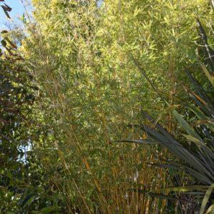 Bambusa multiplex 'Alphonse Karr'-Alphonse Karr Bamboo