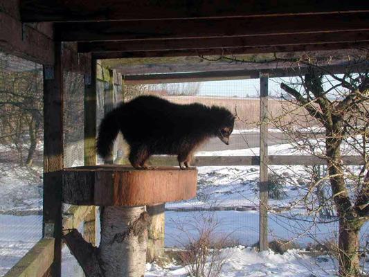Vaskebjørnen