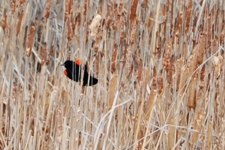 Blackbirds In The Corn – Ohio Ag Net | Ohio's Country Journal