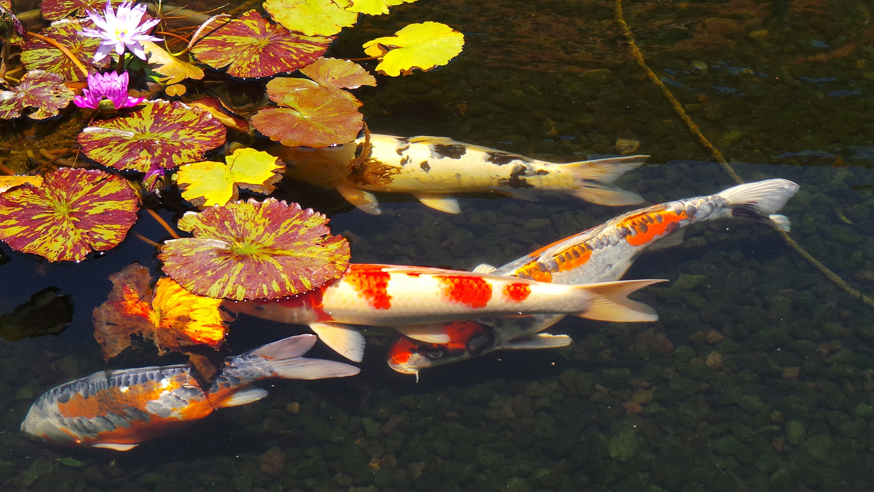 Guide to the fashion island koi ponds in newport beach for Koi carp fish pond