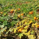 $10 Pick-Your-Own Pumpkin Picking Patch in Orange County