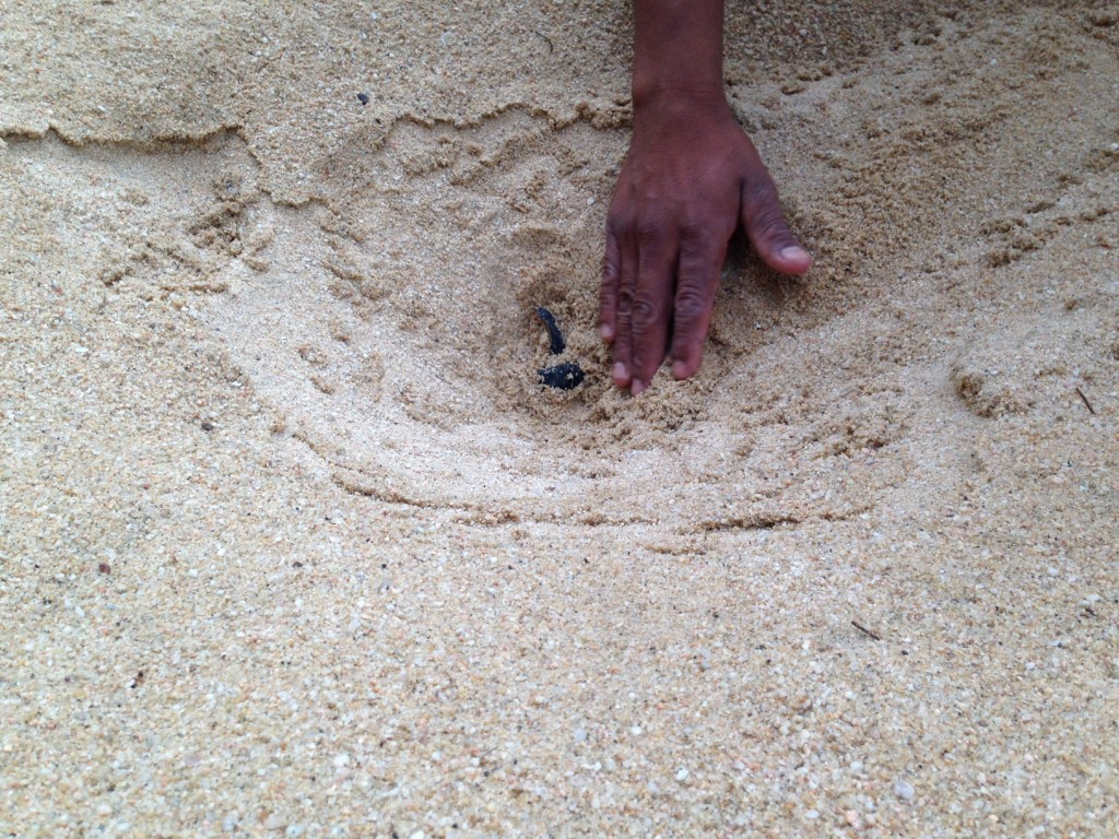 Baby-Sea-Turtle-Hatch-1