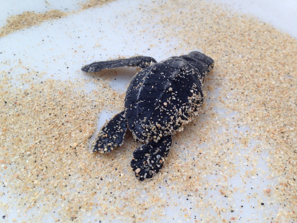 Baby-Sea-Turtle-Hatch-2