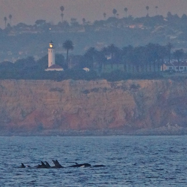 Orca-Whales-Orange-County-Sighting