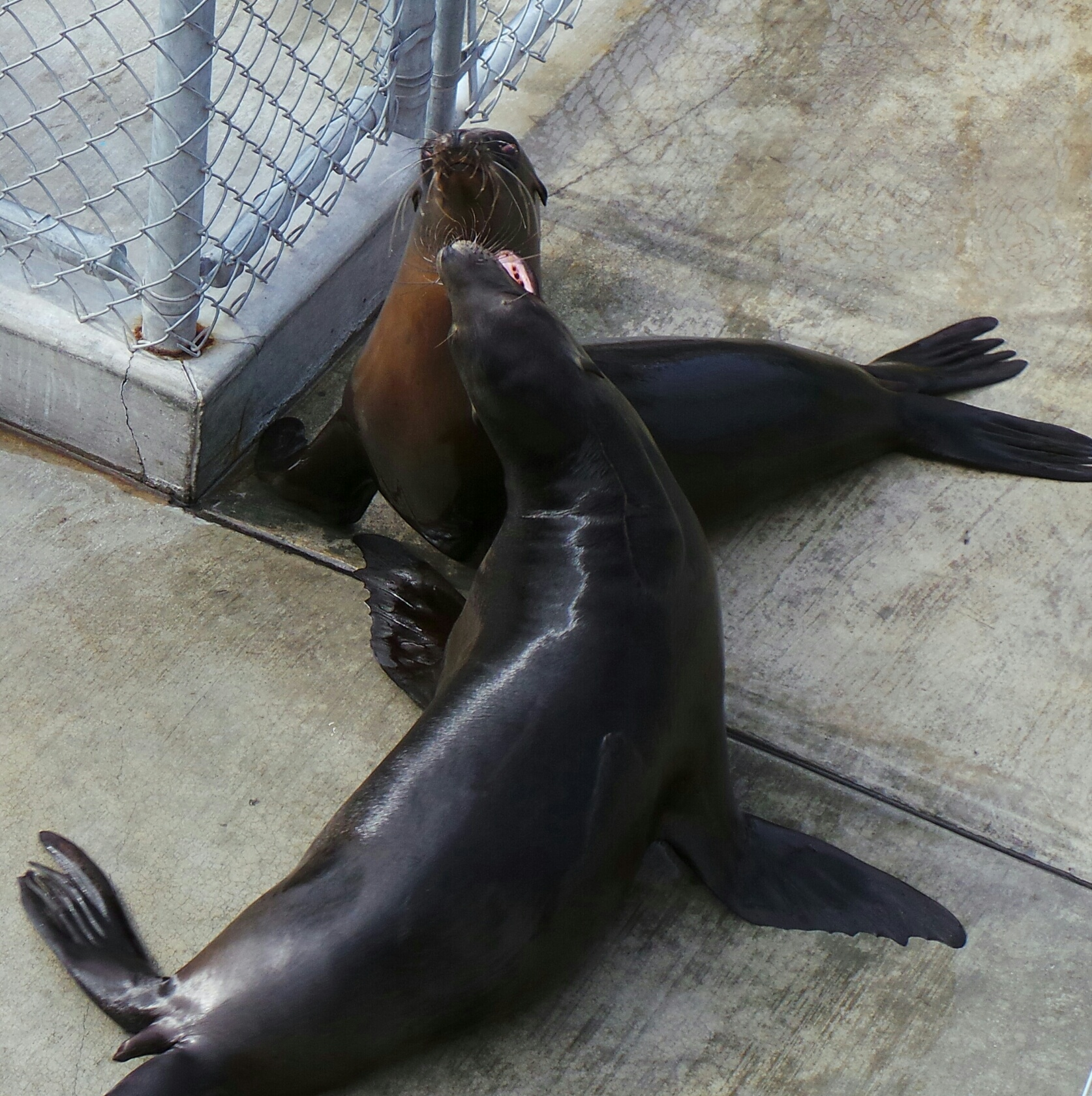 Sea Lions playing at the Pacific Marine Mammal Center