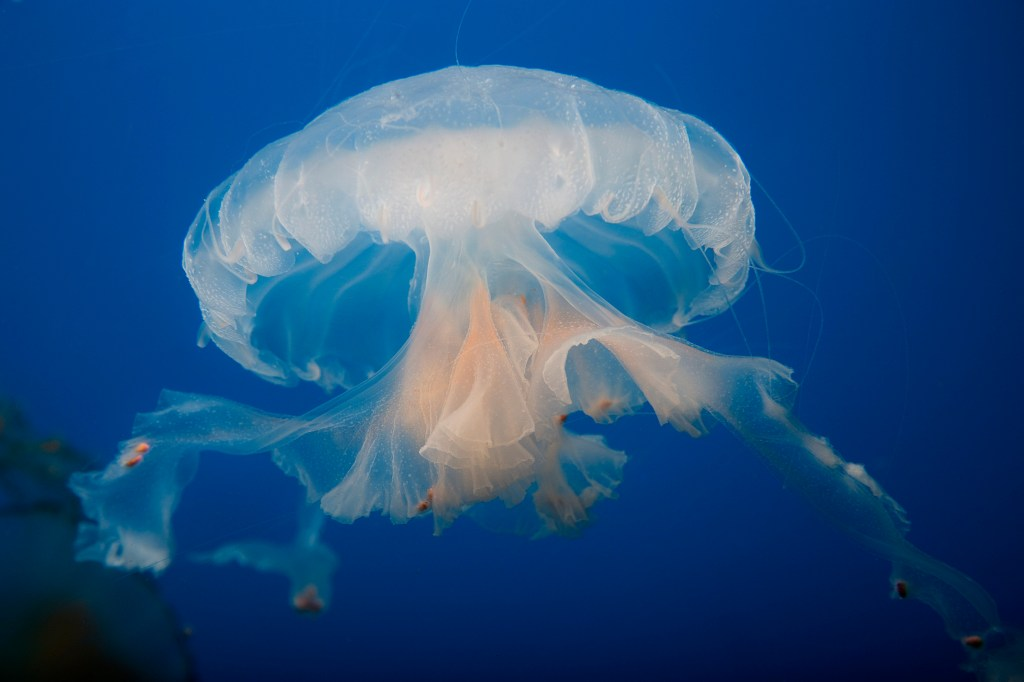 Indonesian Sea Nettle