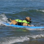 Surf City Surf Dog Competition Returns to Huntington Beach