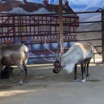 Reindeer Romp at the LA Zoo