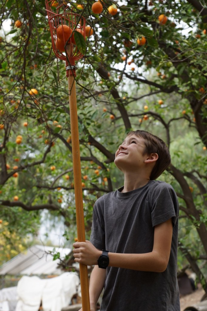 Boy bringing oranges down from the tree