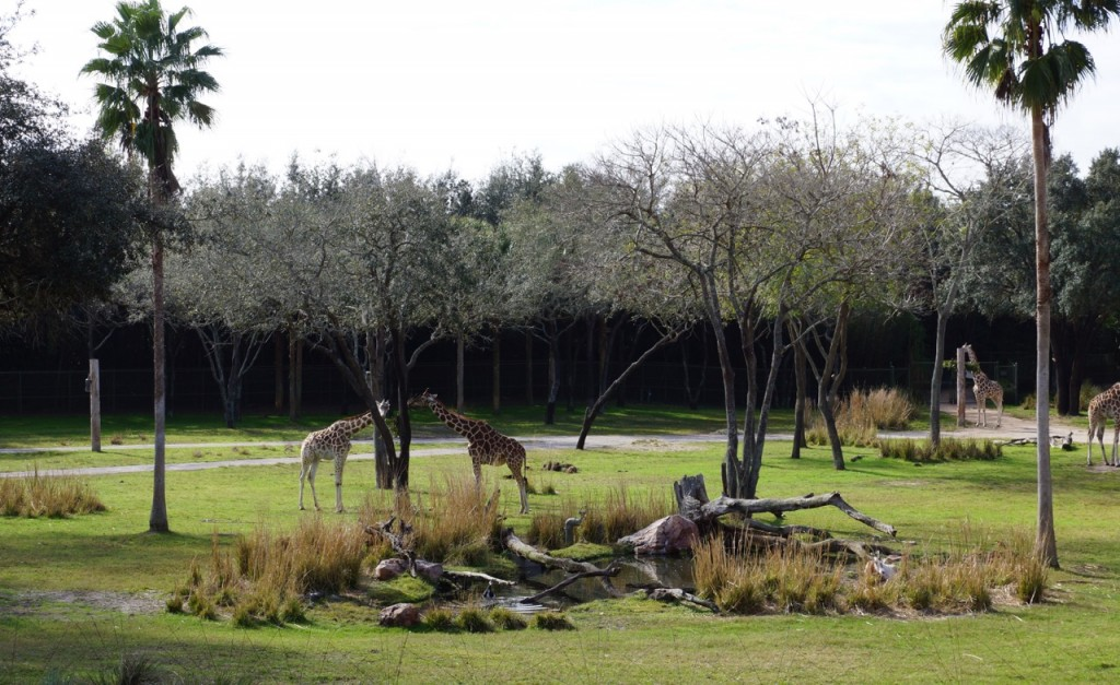 Animals on the Savanna at Animal Kingdom