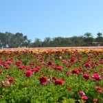 Spring is in the Air at The Flower Fields in Carlsbad