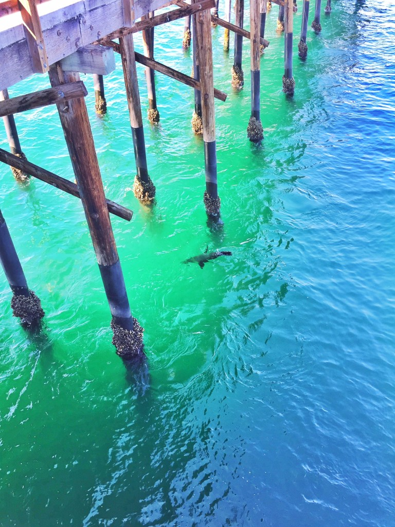 Seal in the water around Newport Pier