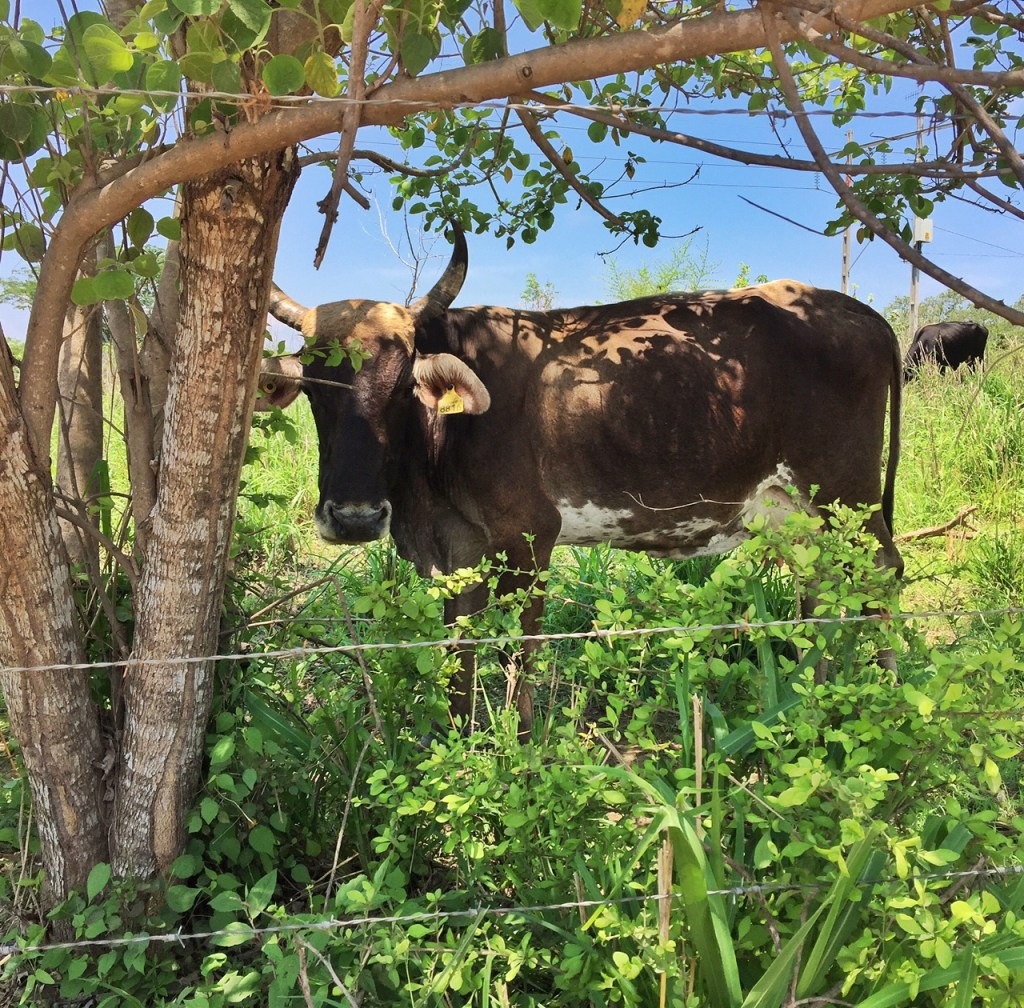 Cow along the road in Zihuatanejo
