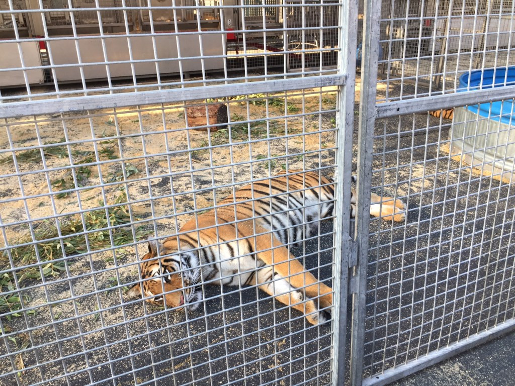 Tigers at the circus in Orange County