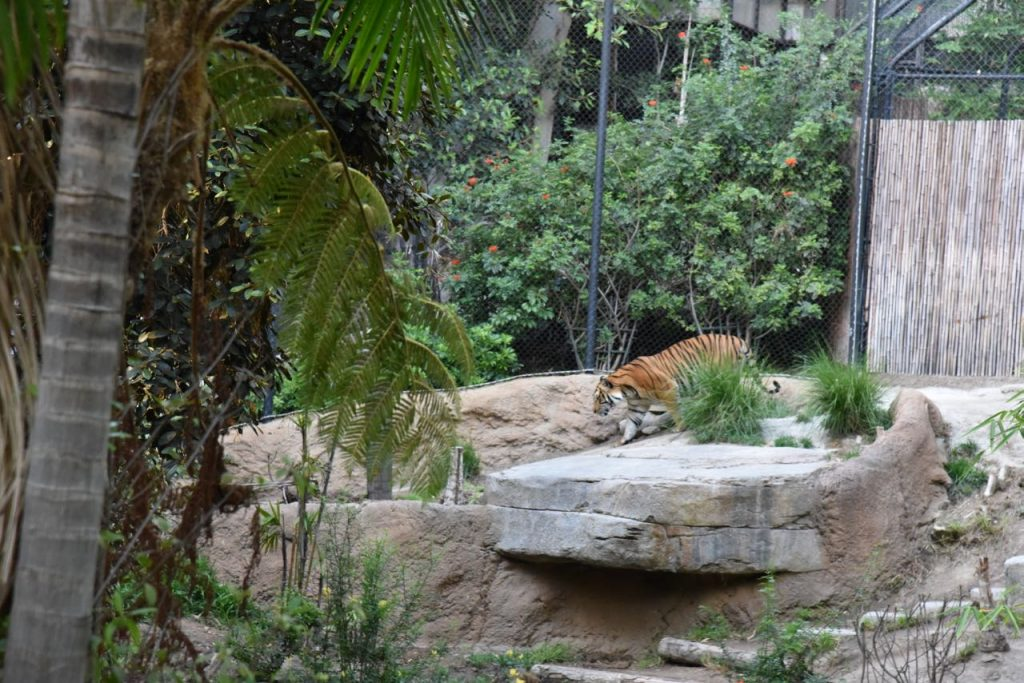 seeing-a-tiger-at-the-san-diego-zoo