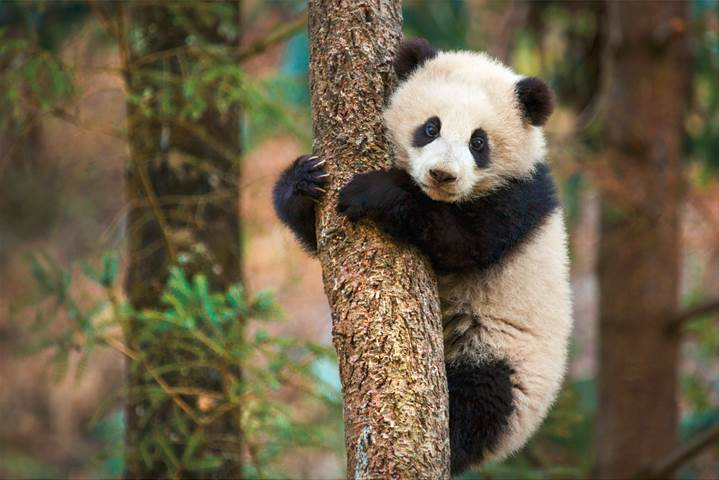 Born in China DisneyNature Movie