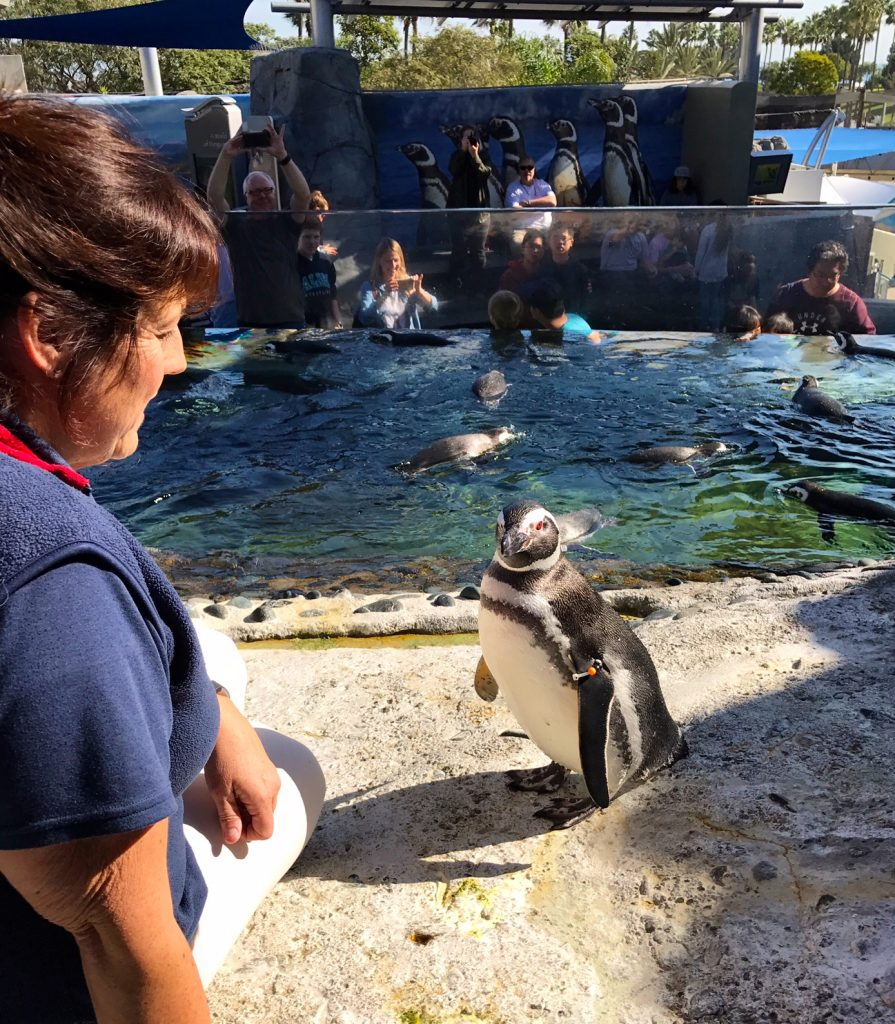Meeting a penguin during the Aquarium of the Pacific penguin encounter