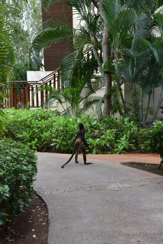 Monkey walking around Mayakoba
