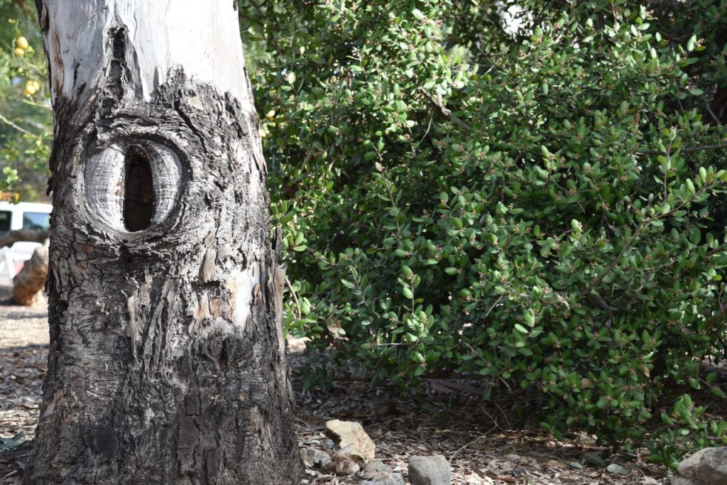 Old tree at Leo Carrillo Ranch in Carlsbad