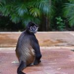 The Monkeys of Mayakoba Mexico