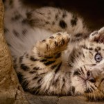 What Happened to the Baby Snow Leopards in Born in China