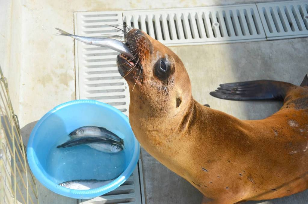 Sea Lion eating at the Pacific Marine Mammal Center