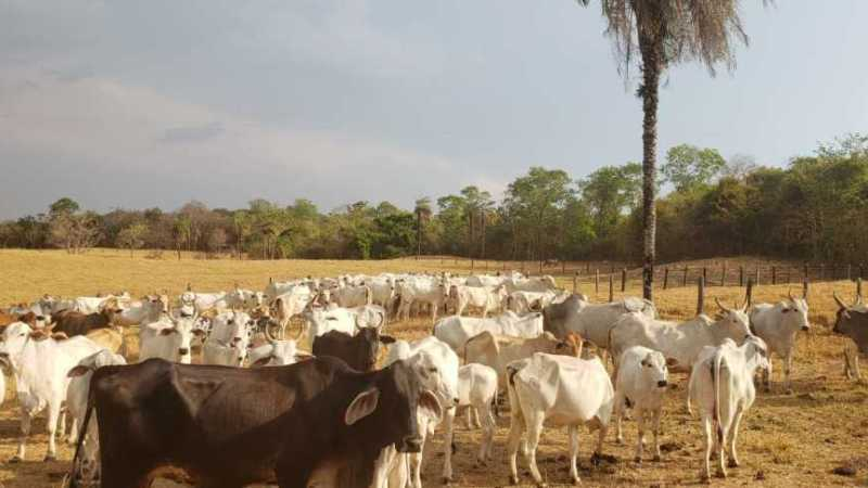 39 gados roubados em fazenda de Monte Santo são recuperados em Miracema