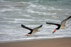 Black Skimmers _PS_IMG_7351