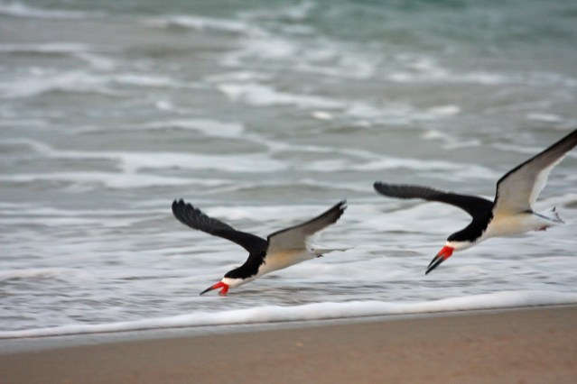 Black Skimmers. Photo by P. Vankevich