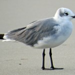 cropped-laughing-gull-ps-img_0134.jpg