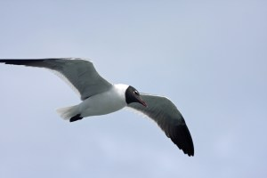 Laughing Gull__PS_IMG_5299