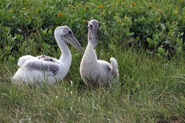 Young Brown Pelicans Beacon Island Vankevich 2014-07-06 16.21