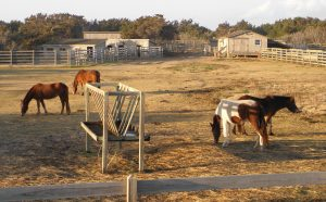 The Ocracoke ponies. Photo by C. Leinbach