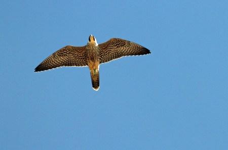 Peregrine falcon in Flight PS crop 408