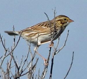 Savannah Sparrow PS _IMG_4789