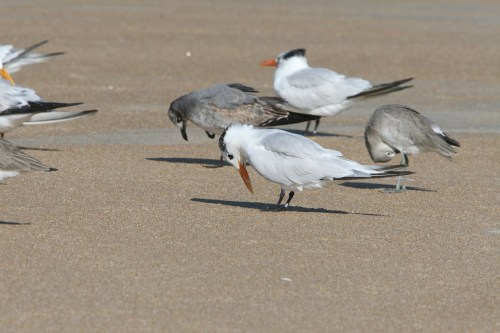 Terns often take a foot-look glance.