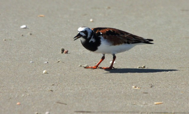 Ruddy Turnstone PS IMG_3624